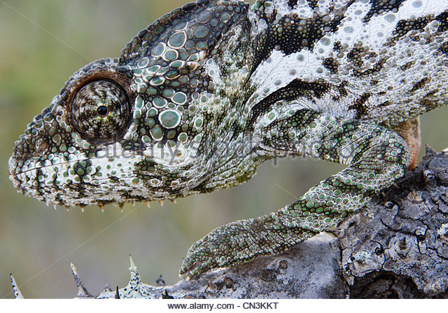 Madagaskar Riesen Chamäleon, Provinz Toamasina, Madagaskar Stockbild