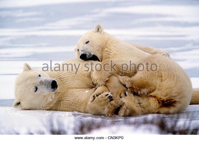 Polar Bear spielt mit zweiten Jahr Cub, Churchill, Manitoba, Kanada Stockbild