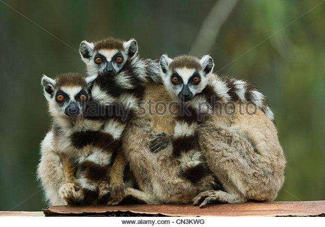 Kattas, Madagaskar Stockbild