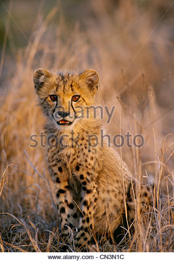 Gepard Cub, Masai Mara National Reserve, Kenia Stockbild