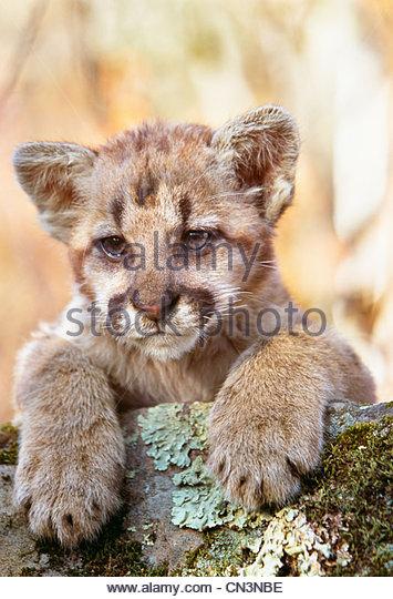 Cougar Cub Porträt, Minnesota, USA Stockbild
