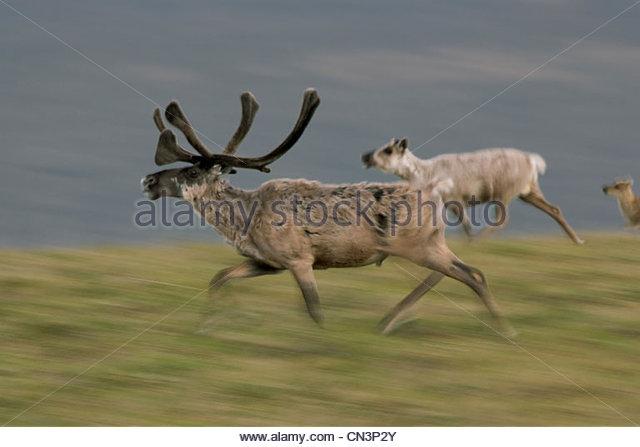 Caribou Bull, Arctic National Wildlife Refuge, Alaska Stockbild