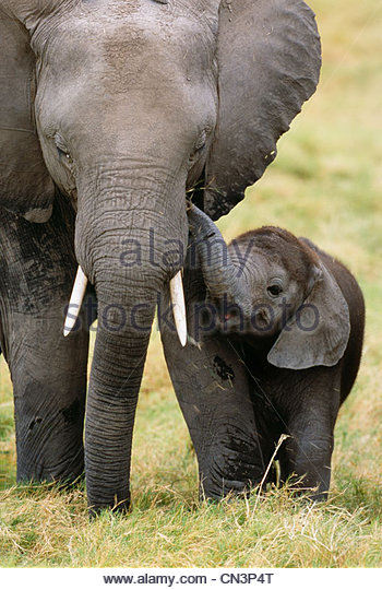 Afrikanischer Elefant Kuh und Kalb, Amboseli Nationalpark, Kenia Stockbild