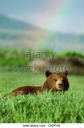Ein Braunbär im Gebiet des hohen Grases mit einem Regenbogen im Hintergrund, Alaska, USA Stockbild