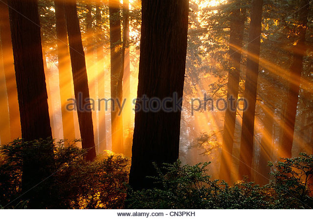 Sonnenstrahlen im Redwood National Park, Kalifornien Stockbild