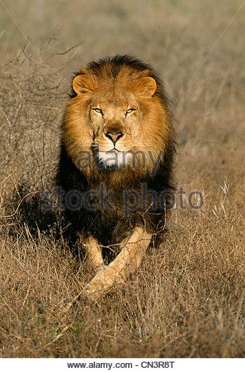 Afrikanischer Löwe, Afrika Stockbild