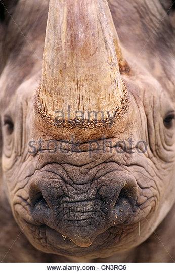 Schwarze Nashorn, Afrika Stockbild