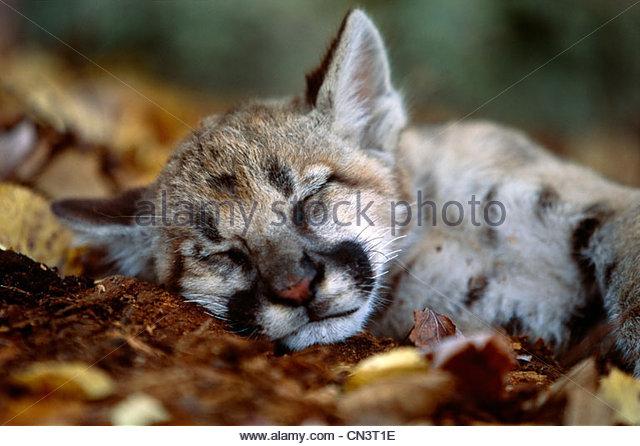 Schlafende Cougar Cub, Minnesota Stockbild