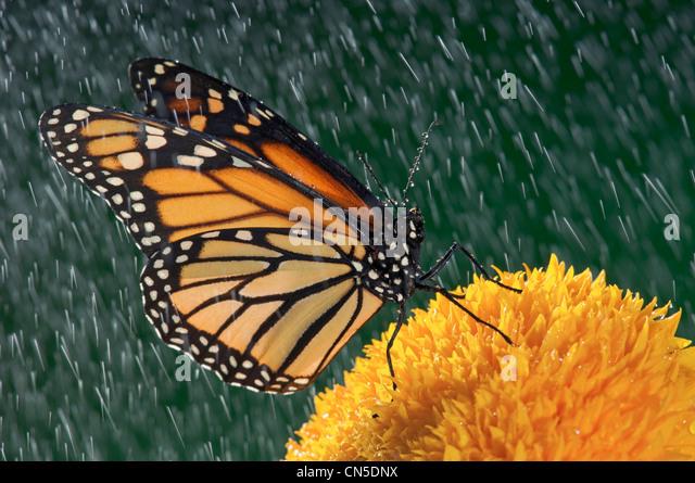 Monarchfalter (Danaus Plexippus) im Regen auf Sunflower, Nova Scotia Stockbild