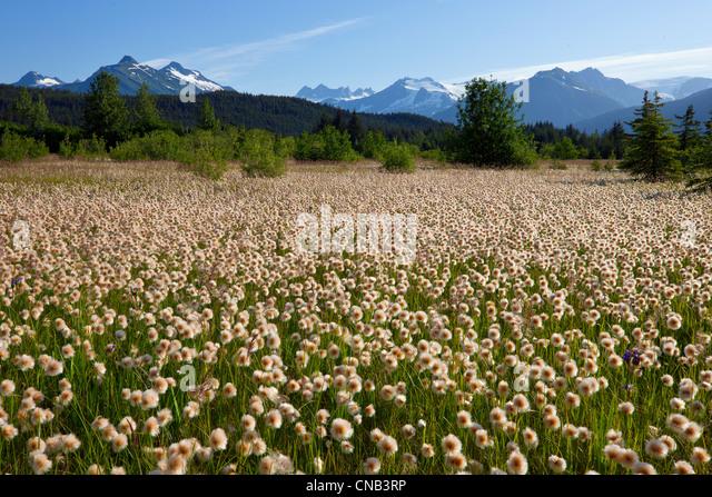 Alaska Wollgras in den Feuchtgebieten Mendenhall, Juneau, Alaska Southeast, Sommer Stockbild