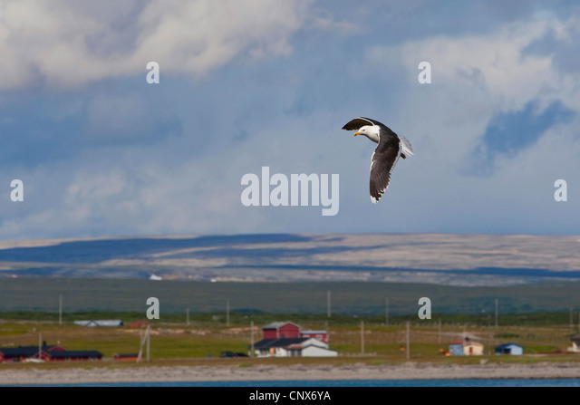 mehr Black-backed Gull (Larus Marinus), Im Flug, Niederlande Stockbild