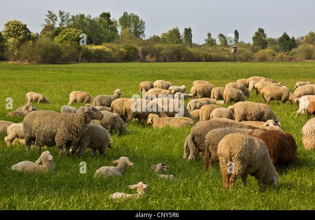 Hausschaf (Ovis Ammon F. Aries), Herde mit Lämmer auf der Weide im Erdinger Moos, Deutschland, Bayern Stockbild