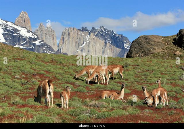 Guanako (Lama Guanicoe), weidenden Herde, Torres del Paine im Hintergrund, Chile, Torres del Paine Nationalpark Stockbild