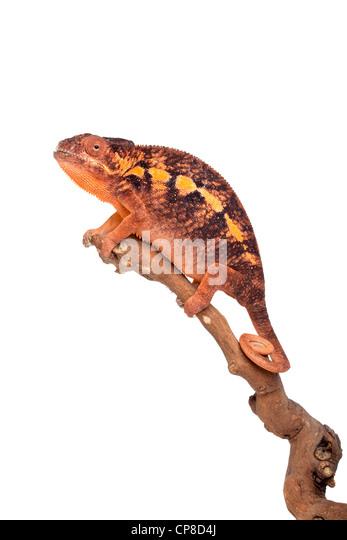 Pantherchamäleon, Furcifer Pardalis Ambilobe Form, Weiblich Stockbild