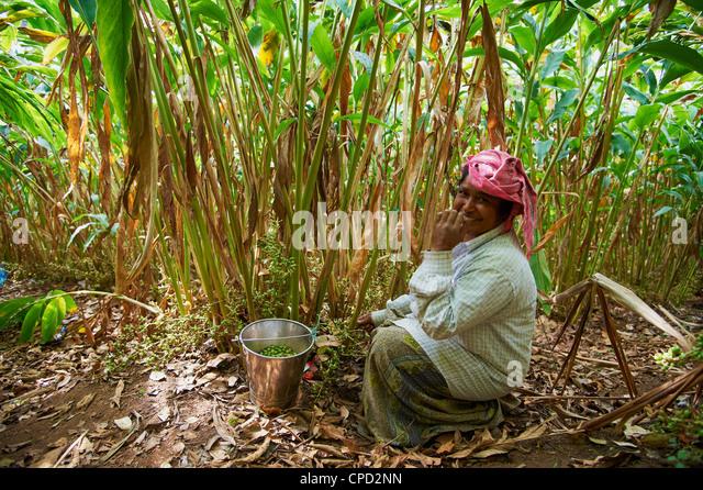 Sammeln von Kardamom, Munnar, Kerala, Indien, Asien Stockbild