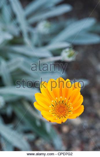 """Gazanien Rigens """"Bicton Orange"""" Blume. Schatz-Blume Stockbild"""