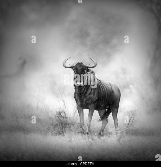Streifengnu in Regenschauer (künstlerische Verarbeitung) Stockbild
