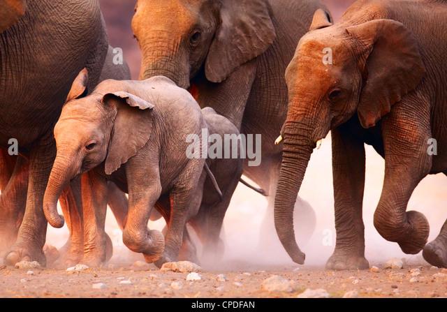 Elefantenherde in Etosha Wüste auf der Flucht Stockbild
