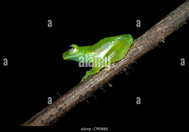 Glas Frosch Cochranella Midas, sitzt auf einem Ast in der Verfassung Regenwald, Yasuni-Nationalpark in Ecuador Stockbild