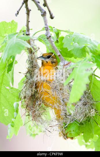 Frau Baltimore Oriole Nestbau - vertikal Stockbild