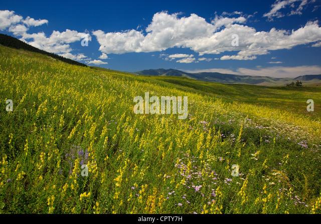 Nationalen Bison Range Wildlife Refuge Rolling Prairie Hänge mit Sommerblumen unter Cumulus-Wolken Stockbild