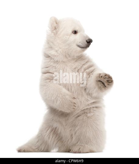 Polar Bear Cub, Ursus Maritimus, 3 Monate alt, auf Hinterbeinen vor weißem Hintergrund Stockbild