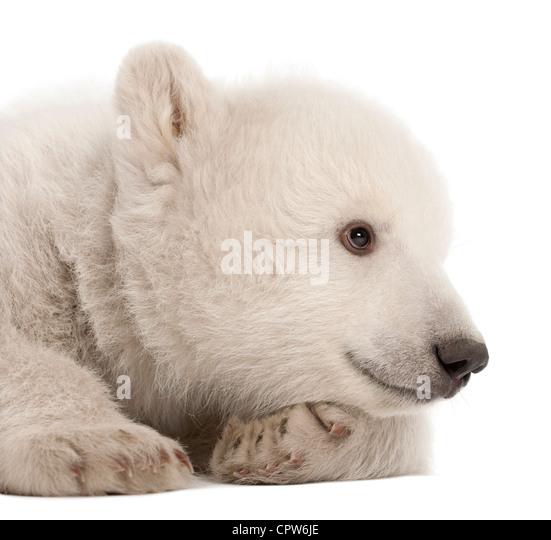 Polar Bear Cub, Ursus Maritimus, 3 Monate alt auf weißen Hintergrund Stockbild