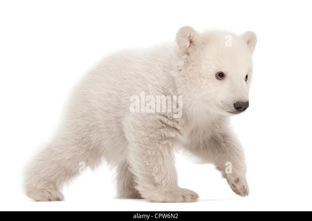 Polar Bear Cub, Ursus Maritimus, 3 Monate alt, Fuß vor weißem Hintergrund Stockbild