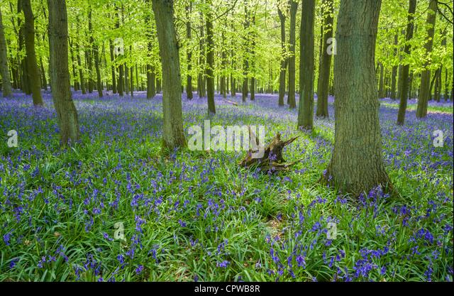 Glockenblumen in voller Blüte über dem Boden in einem Teppich aus blau in einem schönen Strand Baum Stockbild