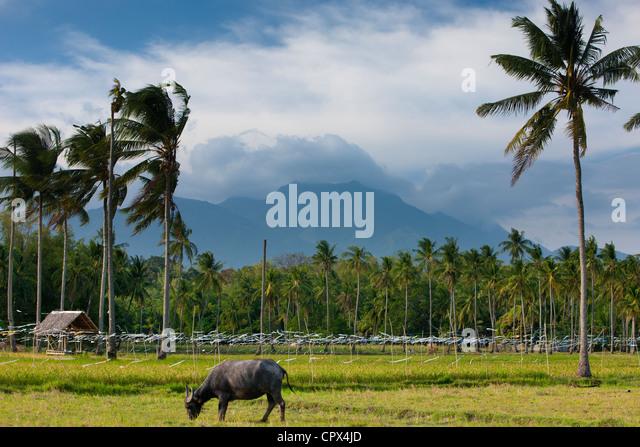 ein Büffel Weiden mit Reisfeldern, Palmen & Berge im Hintergrund, nr Malatapay, Negros, Philippinen - Stock-Bilder