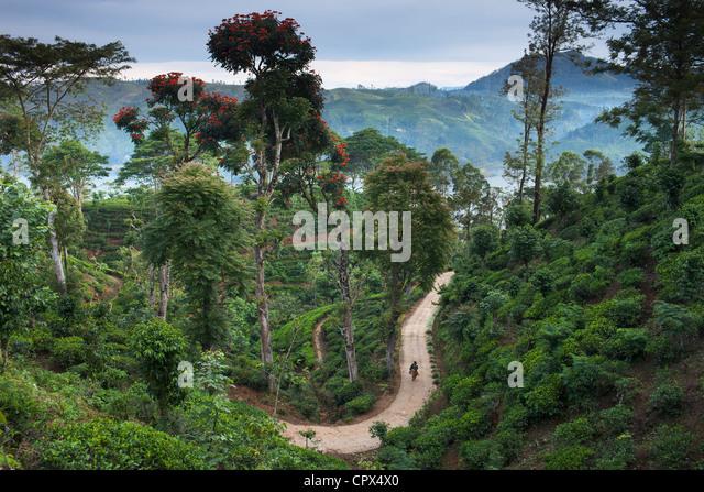 eine Teeplantage in der Nähe von Hatton, Hochland, Sri Lanka Stockbild