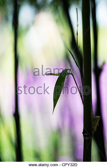 Phyllostachys Nigra. Schwarzer Bambus Silhouette gegen lila hellgrünen Hintergrund Stockbild