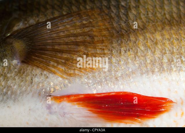 Haut und Schuppen ein 1,1 kg Süßwasser Barsche (Percha Fluviatilis) Stockbild