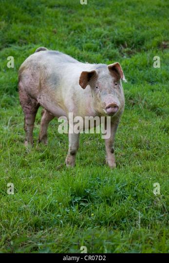 Hausschwein (Sus Domesticus / Sus Scrofa Domesticus) Porträt im Feld, Belgien Stockbild