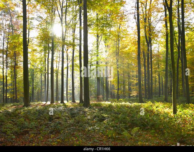 Sonne durch die Bäume im Wald Stockbild