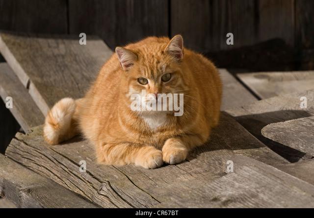 Rote Hauskatze (Felis Silvestris Catus) liegen auf Holzbohlen in der Sonne, Bayern, Deutschland, Europa Stockbild