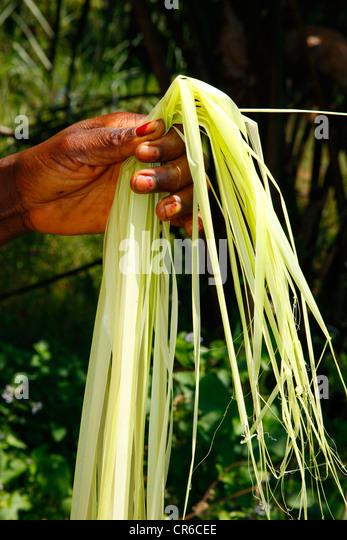 Sammeln von natürlichen Fasern für die Herstellung von Matten, Tischset, Bafut, Kamerun, Afrika Stockbild