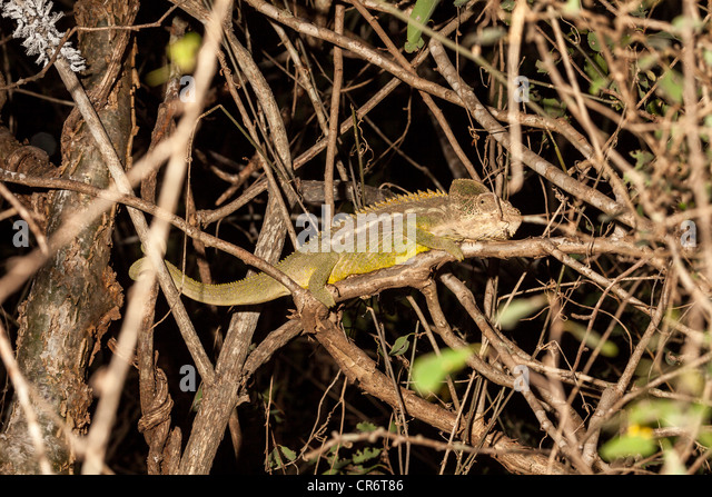 Pantherchamäleon (Furcifer Pardalis), Berenty, Madagaskar Stockbild