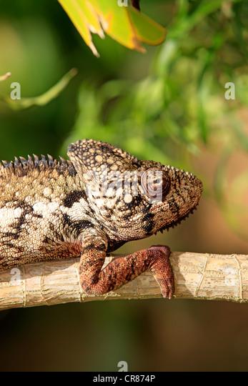 Die Oustalet oder madagassische riesige Chamäleon (Furcifer Oustaleti), Männlich, Porträt, Madagaskar, Stockbild