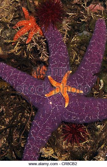 Leben im Meer von einem Tidepool, Washington. Stockbild