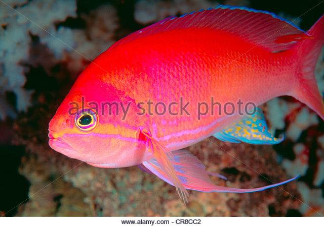 Nahaufnahme von einem hellen tropischen Fischen. Stockbild