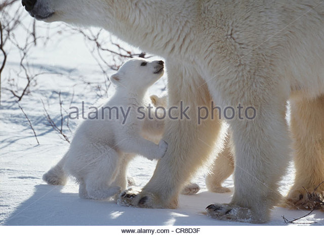 Polar Bear Cub bittet von Mutter, Manitoba, Kanada Stockbild