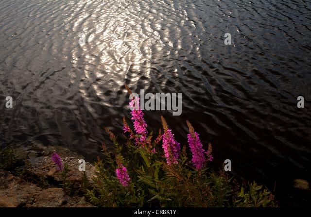 Blutweiderich auf der Insel Brattholmen in den See Vansjø, Råde Kommune, Østfold Fylke, Norwegen. Stockbild
