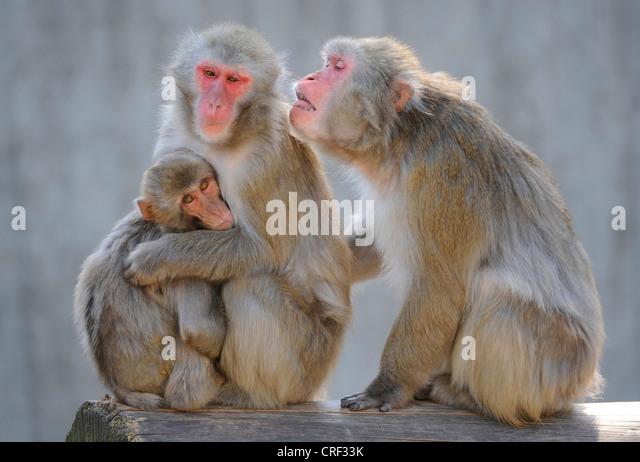 Japanischen Makaken, Schnee-Affen (Macaca Fuscata), drei Personen Stockbild