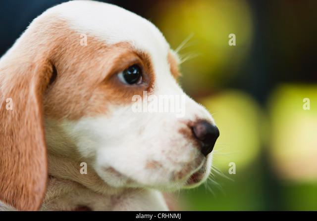 Beagle Welpen, Seitenansicht Stockbild