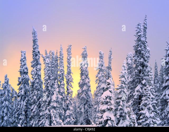 Schnee auf den Bäumen mit Sonnenuntergang Farbe. Mt. Rainier Nationalpark, Washington Stockbild