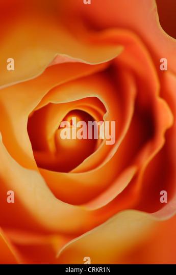Rosa 'Frieden', Rose Stockbild
