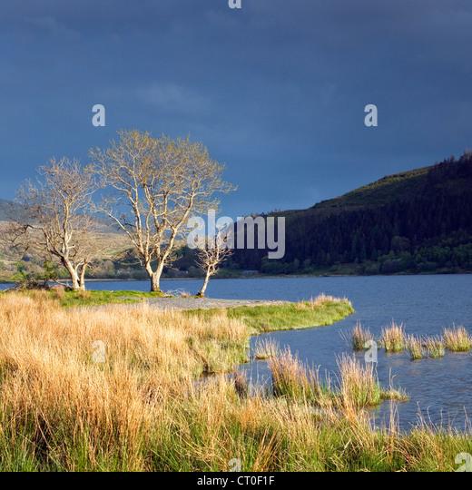 Bäume durch späten Abend auf See Ufer des Llyn Cwellyn in Nant y Betws Tal, Snowdonia National Park Gwynedd Stockbild