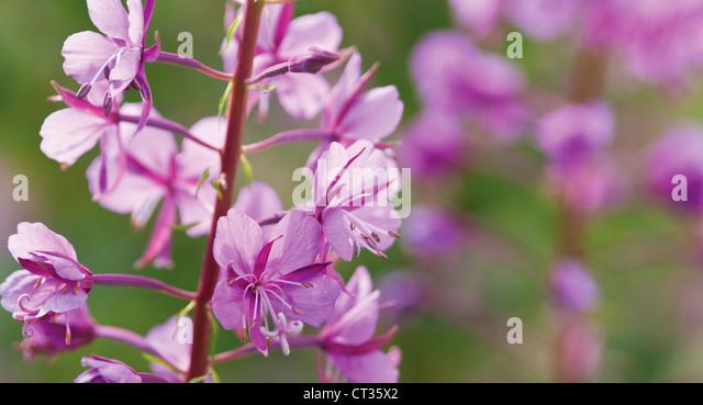 Chamerion augustifolium Stockbild