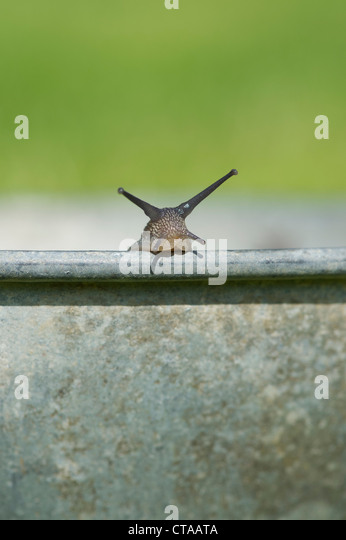 Gesammelten Schnecken in einem Metall Topf herausnehmen aus einem Bio-Garten Stockbild